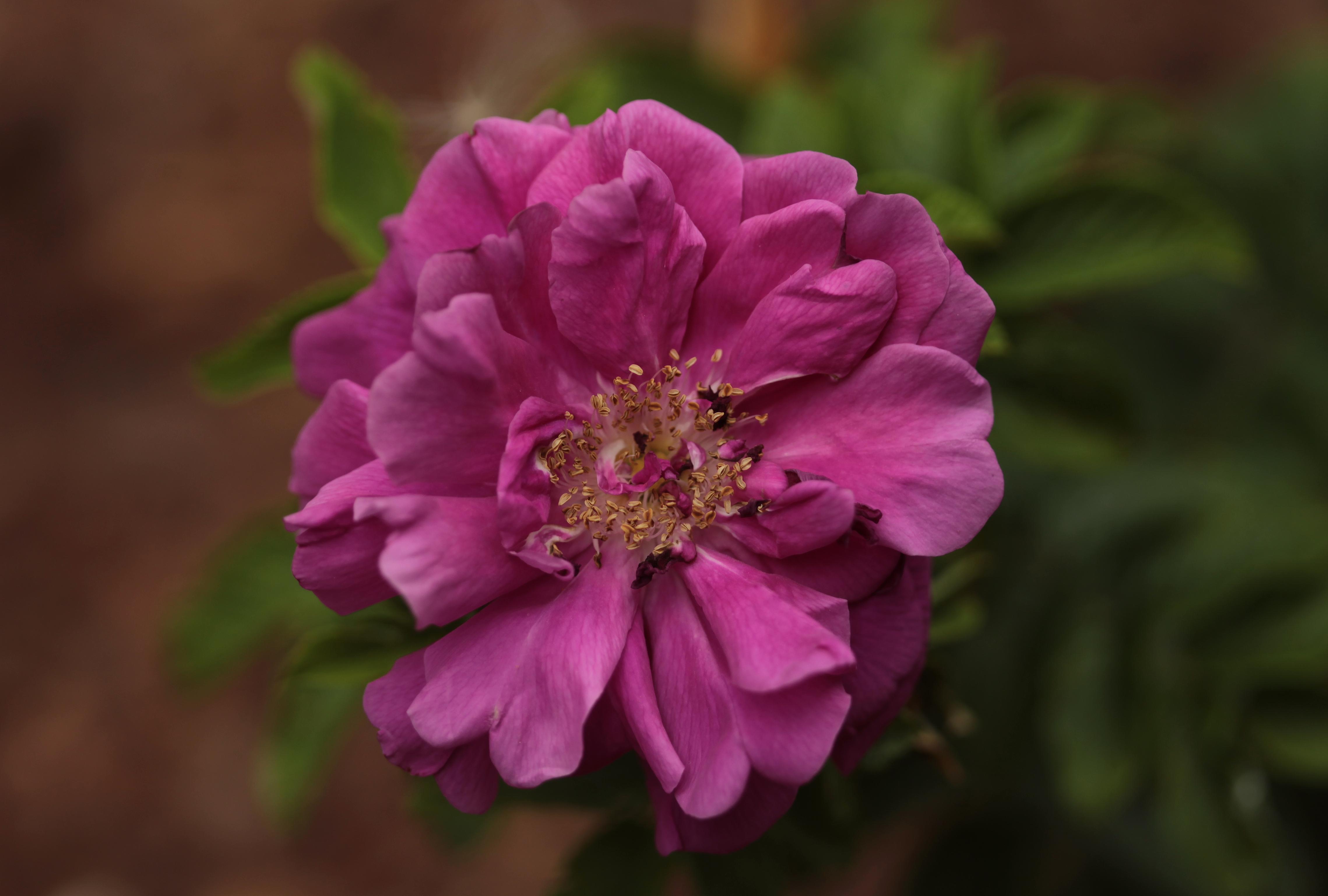 Rosa rugosa Hansa / Park Traugutta