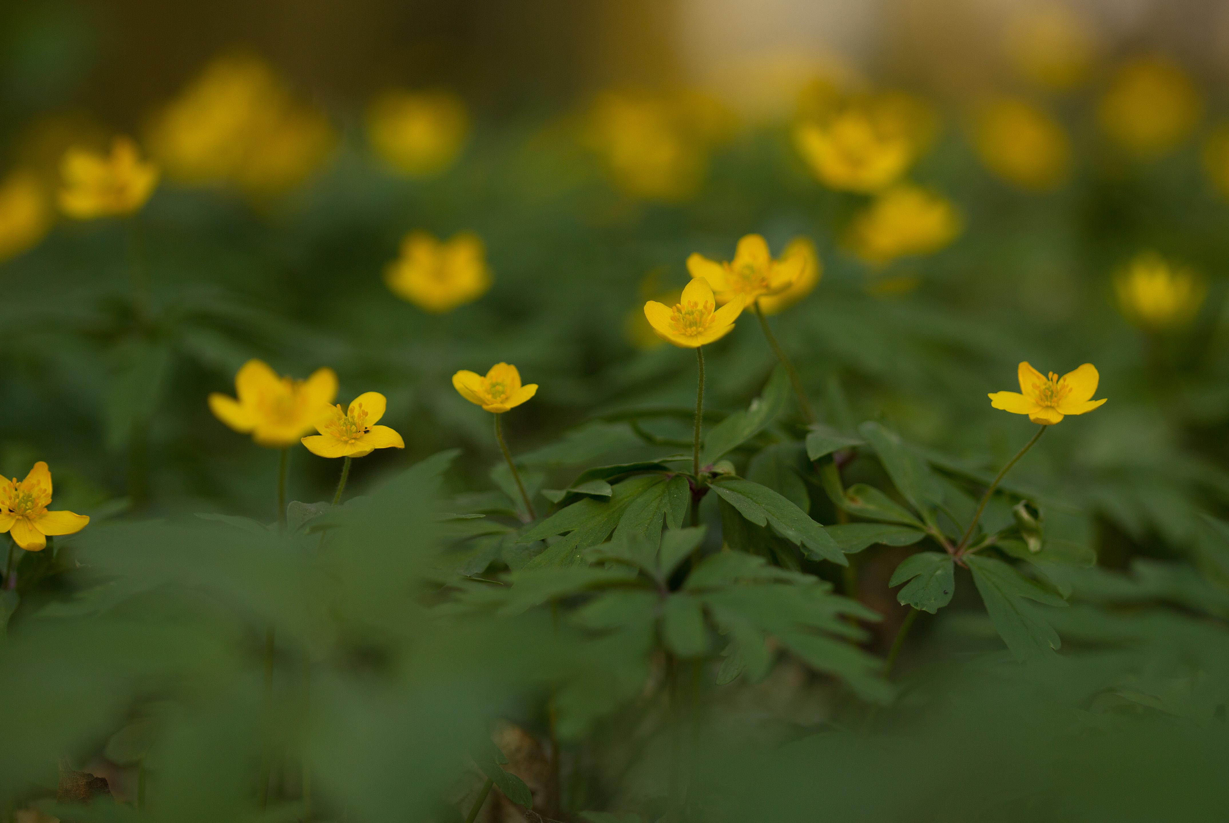 Zawilce żółte