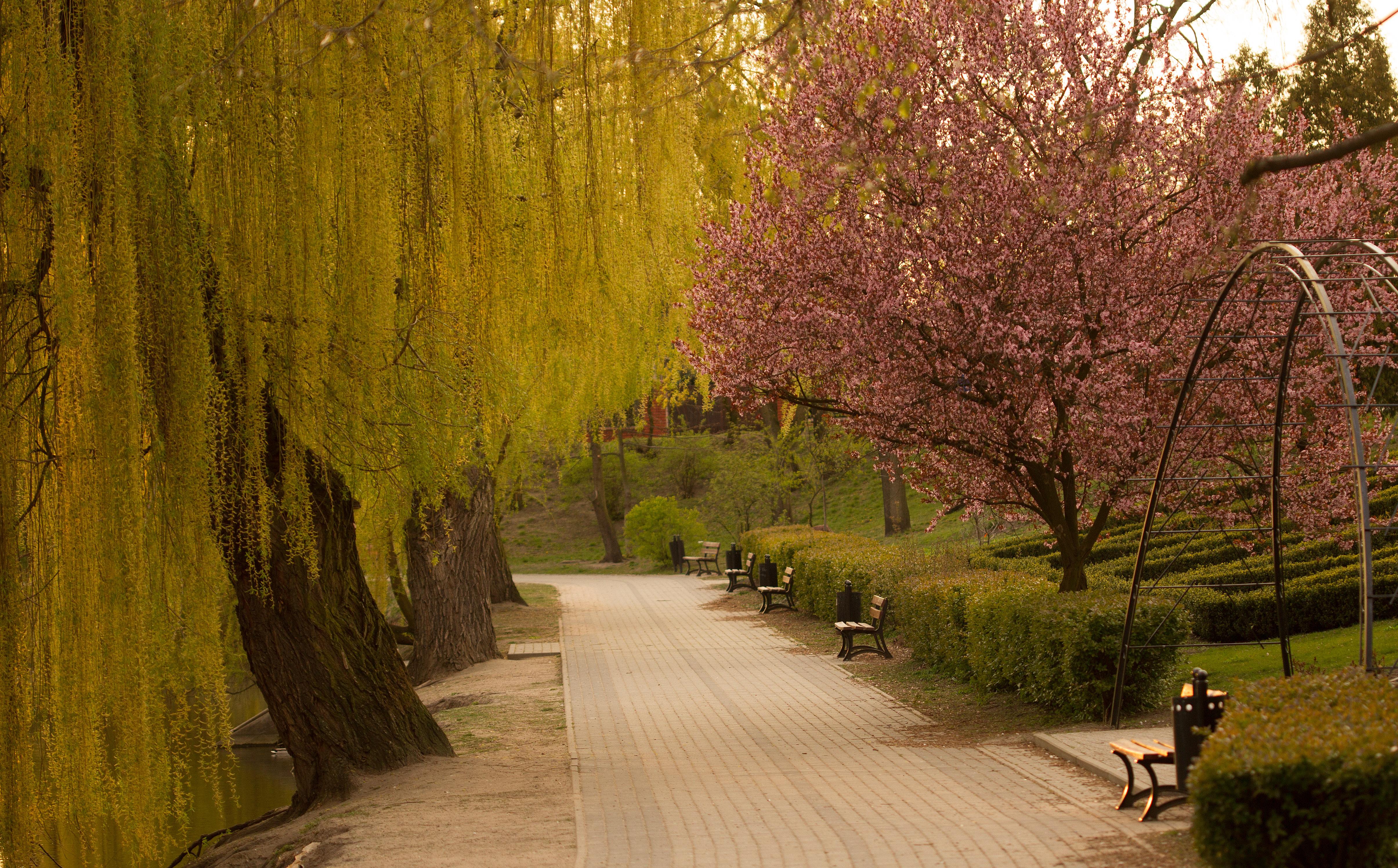 Park Traugutta / śliwa wiśniowa