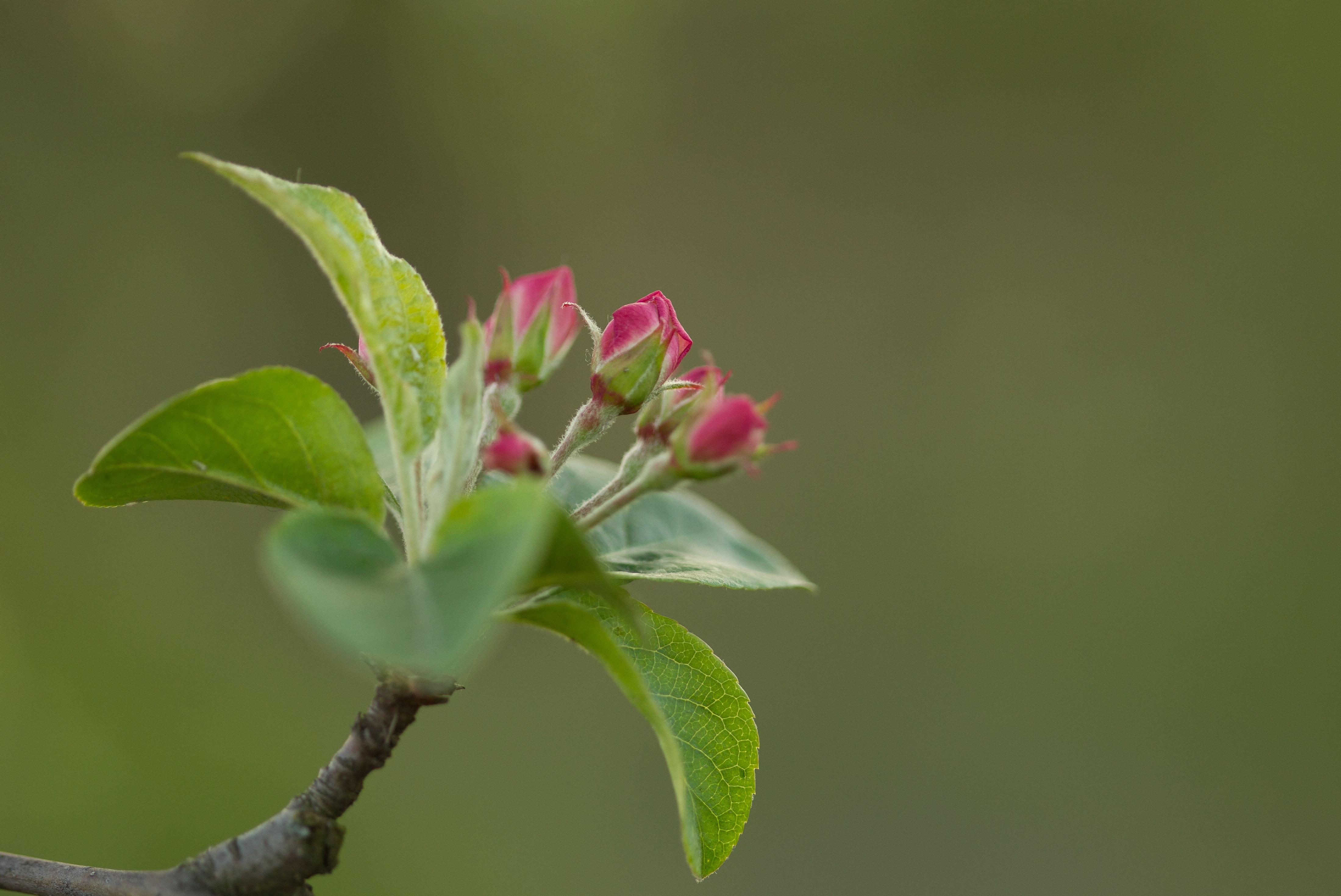 Jabłoń Red santinel