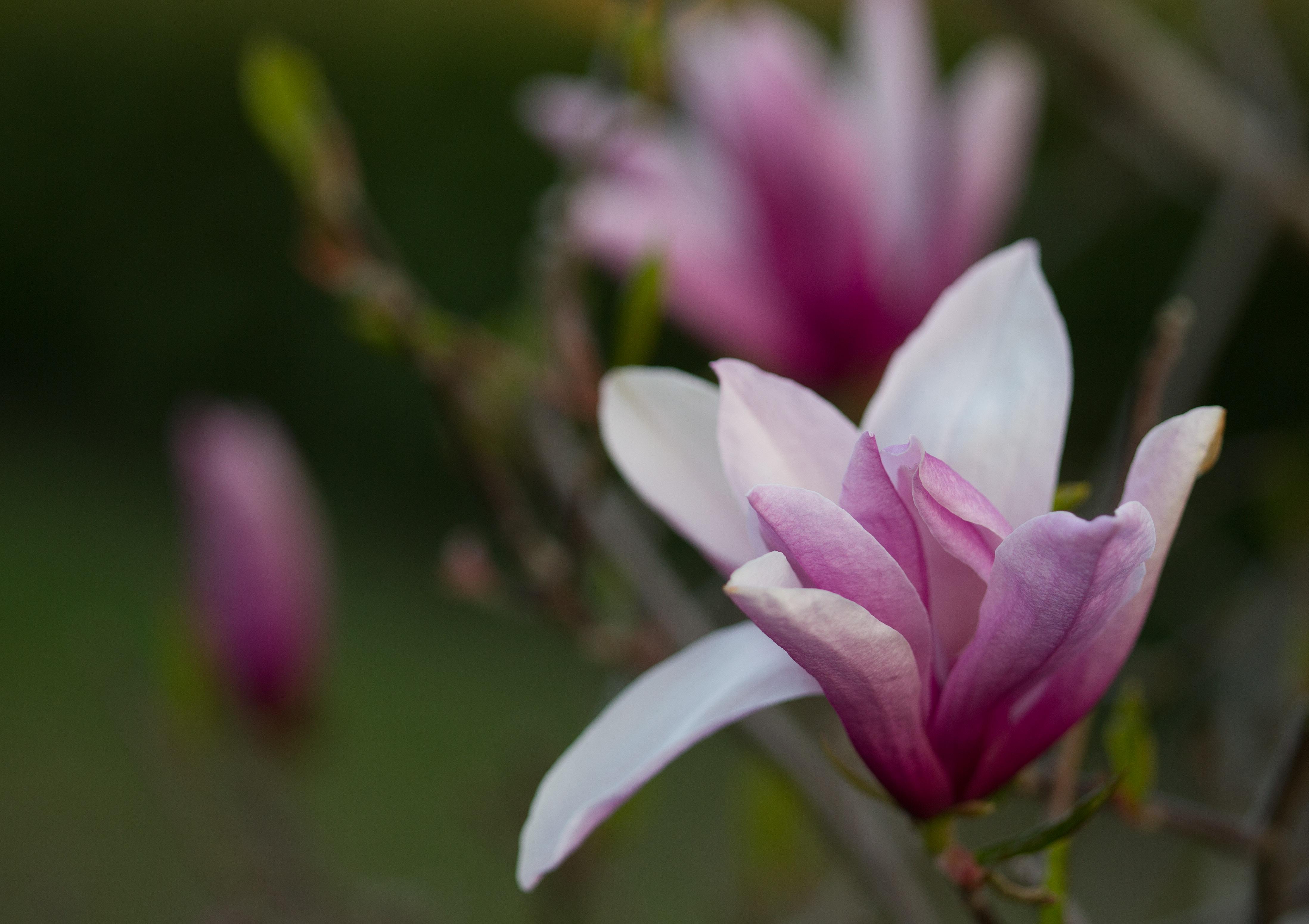 Magnolia w Parku Traugutta