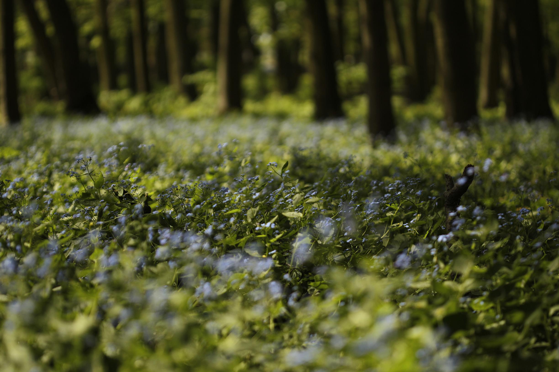 Brunnera / Park Wiosny Ludów