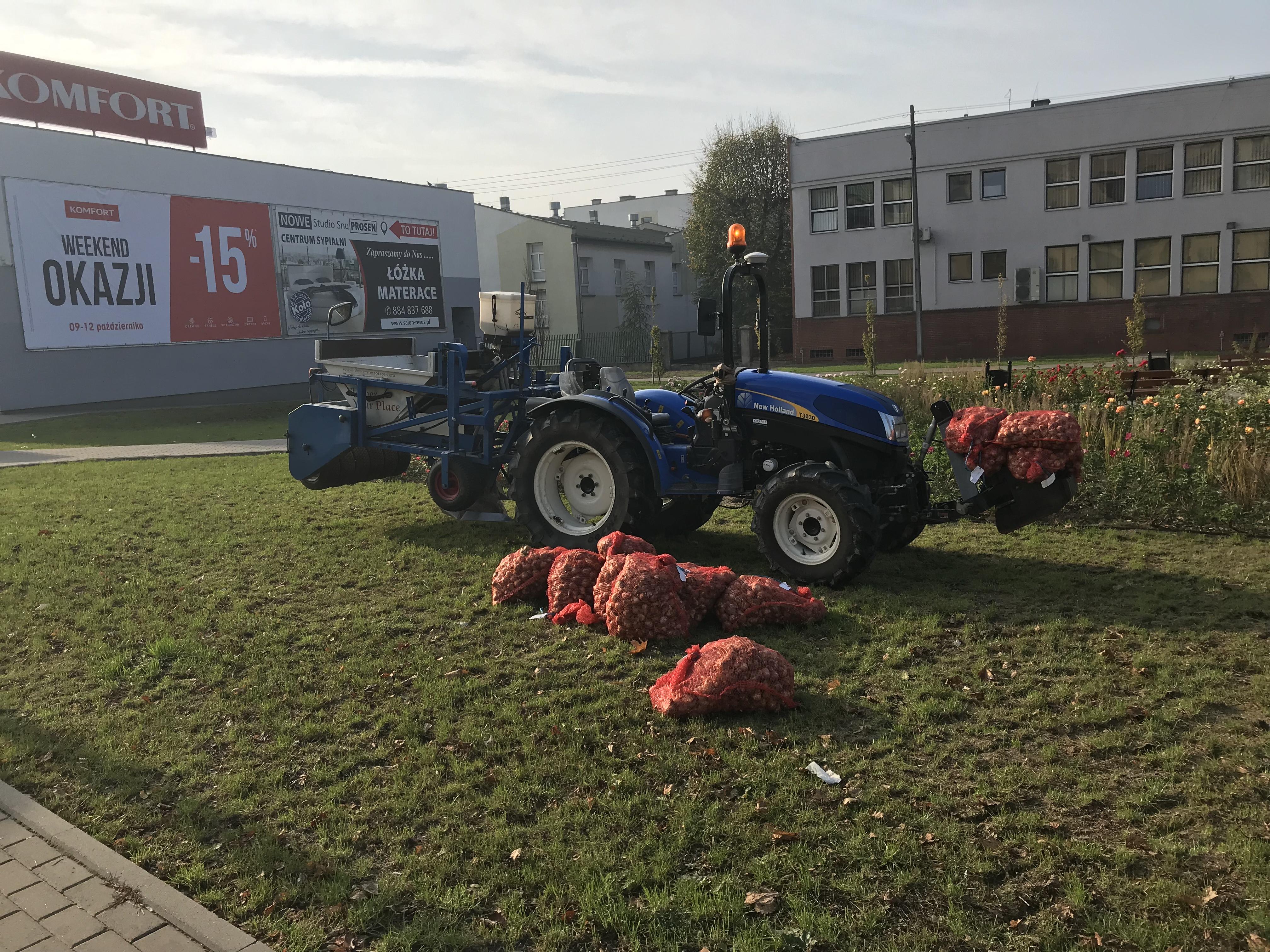 Jesienią prawie 5000 cebul narcyzów posadzono mechanicznie na rabacie przy ul. Jasnej